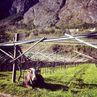 ospiti in vigneto in loc.ischia: le mucche di maso oliva