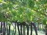 Sommer-Jobs: Entblaetterung, Halbirung der Trauben und Bewässerung