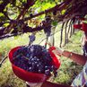 Finita la vendemmia 2014